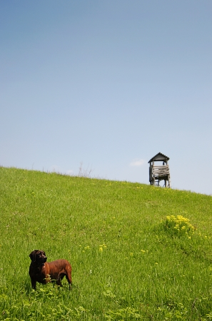 raised viewpoint: Dog in meadow a wooden huntingtower in background