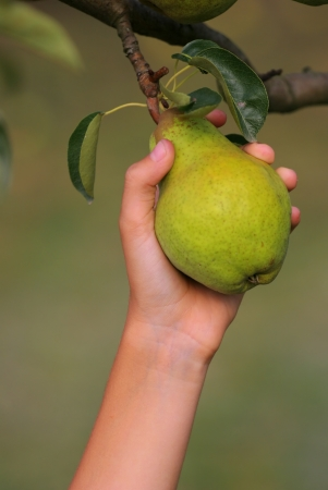 Hand catch a green pear