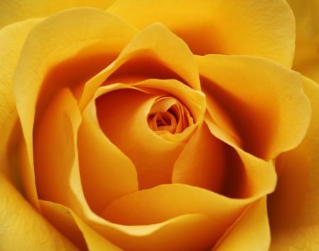 Macro shot of a yellow rose blossom - beautiful layers of petals photo