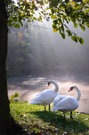 Two swans in beautiful landscape lake and sunbeam photo