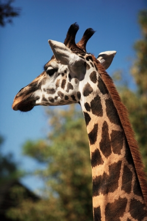 reticulated giraffe: Portrait of a young giraffe, nature background Stock Photo