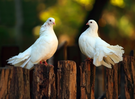 Two pigeons relax on fence outdoor