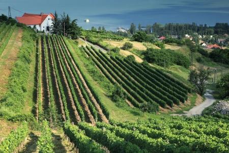 Beautiful vineyard in Badacsony, Hungary