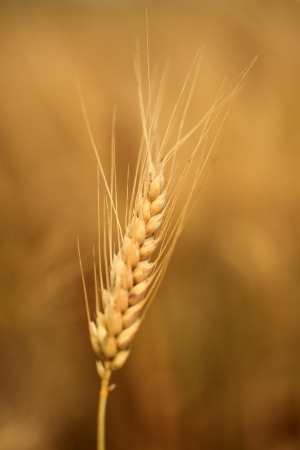 Close up of ripe wheat ears photo