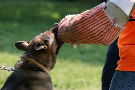 shepperd: A police dog s catching the hand of a robber