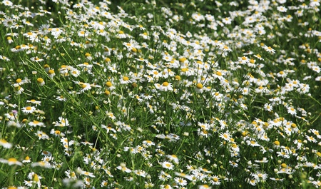 ox eye: Bunch of flowering white daisies