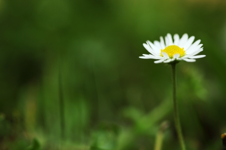 moonflower: Daisy on the blurred green background