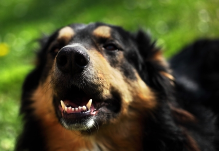 shepperd: Portrait of a hairy black-brown dog sharpness on the nose