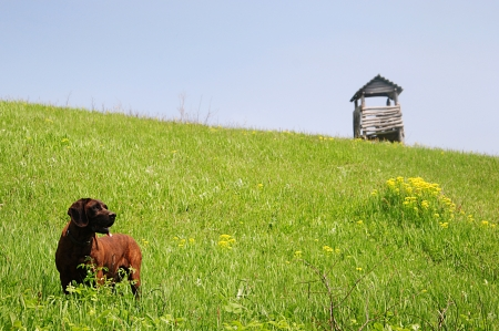 raised viewpoint: Dog in meadow a wooden raised hide in background