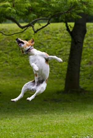 air animals: Happy dog jump into the air