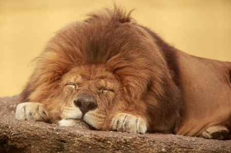 African lion sleeping on a flat stone Stock Photo