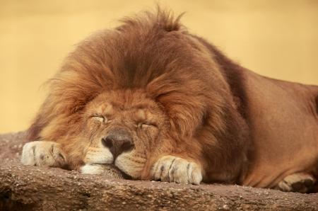 African lion sleeping on a flat stone Archivio Fotografico