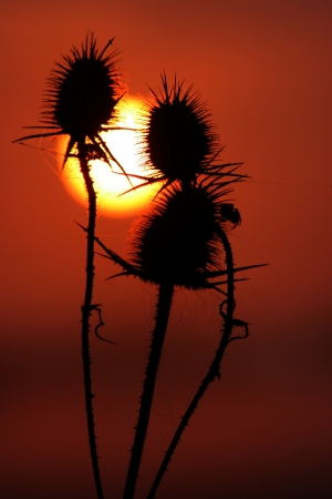 stinger: Rising sun behind stinger plants