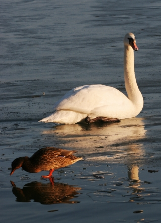 Swan and duck on frozen water photo