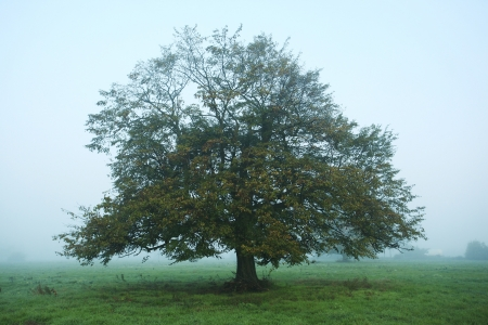 Tree in the meadow in the mist photo