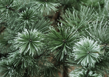needles pine: Snow coperti aghi di pino in inverno