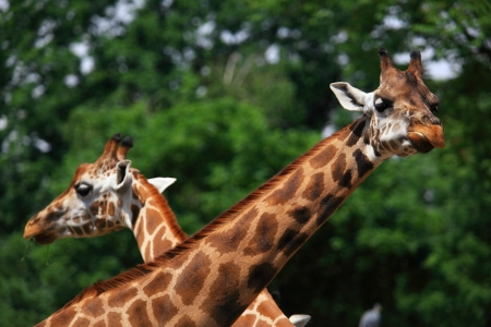 ruminants: Head and neck of couple giraffe