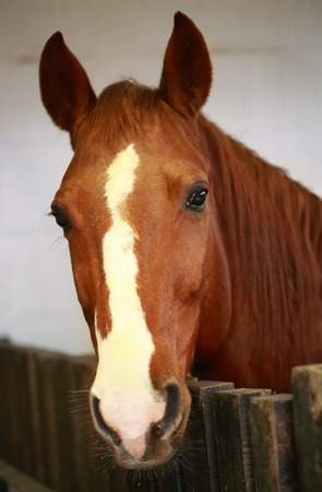 horse chestnut': Portrait of a beautiful brown horse