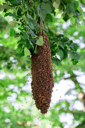 swarm: Swarm of bees on a tree