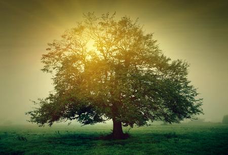 Tree in the meadow with mist in the sunlight Foto de archivo