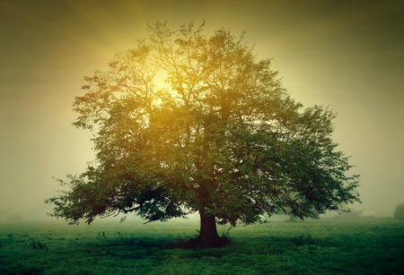 green meadow: Tree in the meadow with mist in the sunlight Stock Photo