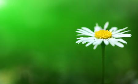ox eye: Flower