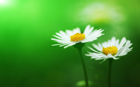 Stelletje witte bloeiende madeliefjes Stockfoto