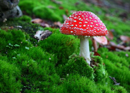 muscaria: Fly agaric Toadstool in moss Stock Photo