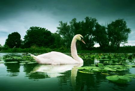 balaton: White swan swim of Lake Balaton on water surface