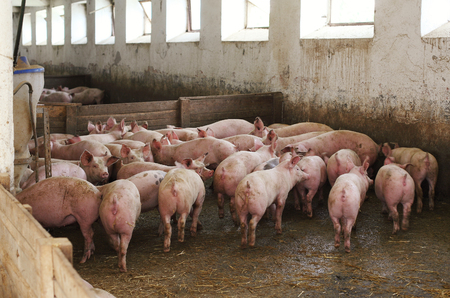 anachronistic: Bunch of pigs in stable