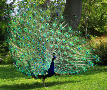 Colorful peacock tail with huge open