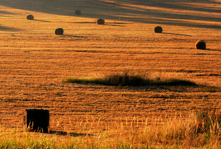 Bale field, golden color in the summer
