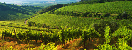 Vineyard in Villany Hungary, panorama view Imagens - 92199315