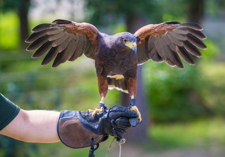 Harris's hawk bird of prey on hand