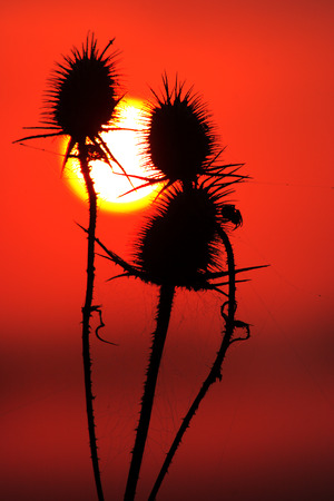 Cutleaf teasel with sun at sunset Stock Photo - 110026470