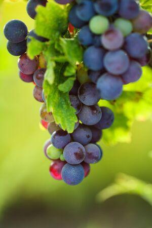 Bunch of grape on branch in vineyard