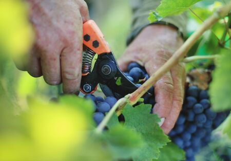 Hand cut grape with secateurs tool