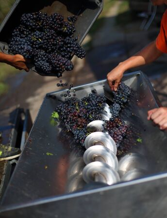 Pouring grape in grape squezzing machine Stockfoto