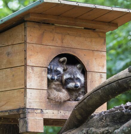 Two racoons resti in wooden house