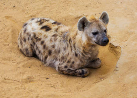 Hyena resting in sand in desert Stock Photo - 154193980