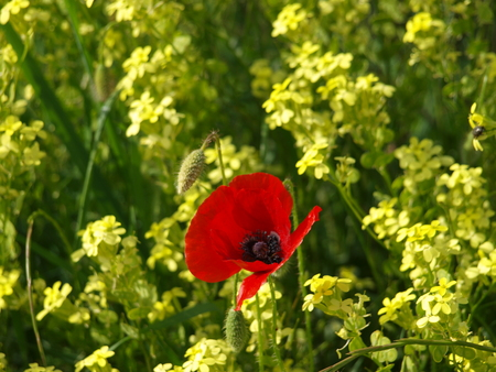 red poppy in field of yellow flowers Banque d'images - 105340585