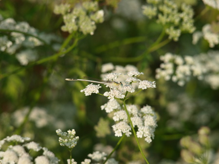 dragonfly on white flowers 스톡 콘텐츠