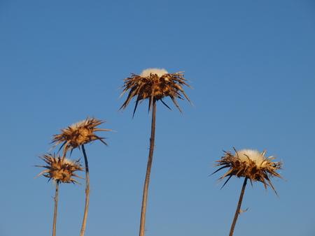 Thistle against blue sky