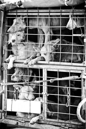 confined: Several dogs confined in a very small cage.