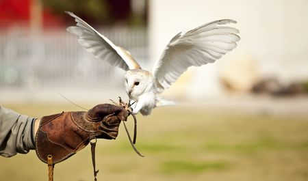 falconry: Hunting barn owl on falconry show. Focus on the glove.
