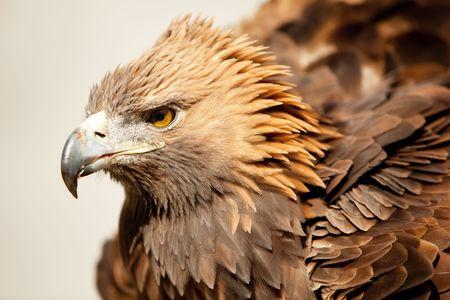 aigle royal: Aigle fixement cam�ra.