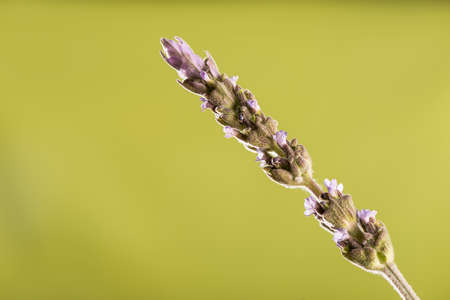 clave: Lavender flower over green background Stock Photo