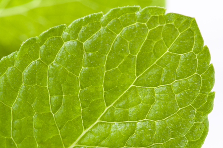 Peppermint leaf closeup over white background isolated Stock Photo