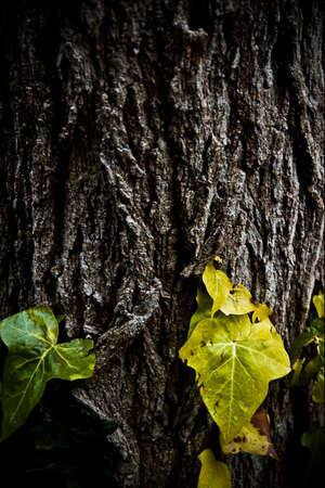 Ivy leaves on old tree trunk
