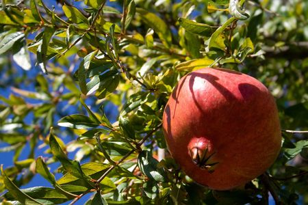Pomegranates hanging on tree photo